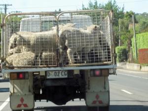 sheeptruck
